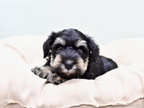 ミニチュアシュナウザーの子犬(ID:1263011059)の3枚目の写真/更新日:2018-03-30