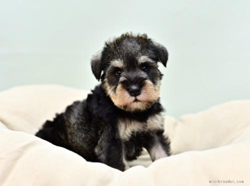 ミニチュアシュナウザーの子犬(ID:1263011060)の1枚目の写真/更新日:2018-04-13