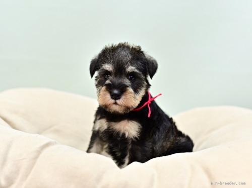 ミニチュアシュナウザーの子犬(ID:1263011060)の2枚目の写真/更新日:2018-04-13