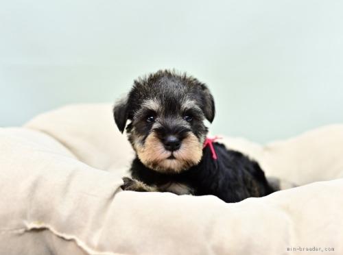 ミニチュアシュナウザーの子犬(ID:1263011060)の3枚目の写真/更新日:2021-02-27