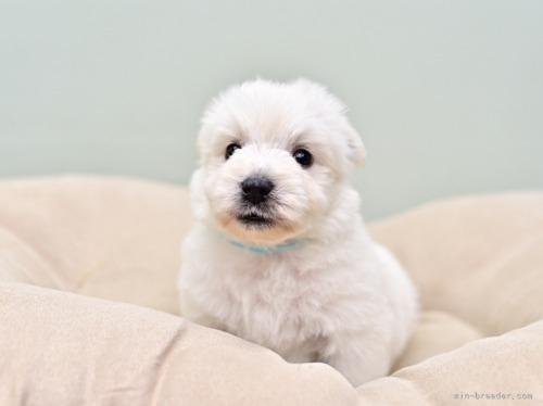 ウエストハイランドホワイトテリアの子犬(ID:1263011061)の2枚目の写真/更新日:2018-04-02