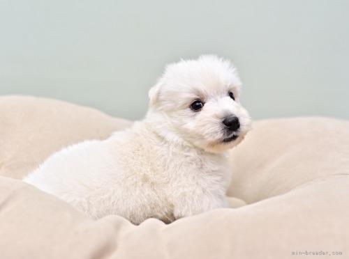 ウエストハイランドホワイトテリアの子犬(ID:1263011061)の3枚目の写真/更新日:2018-10-22