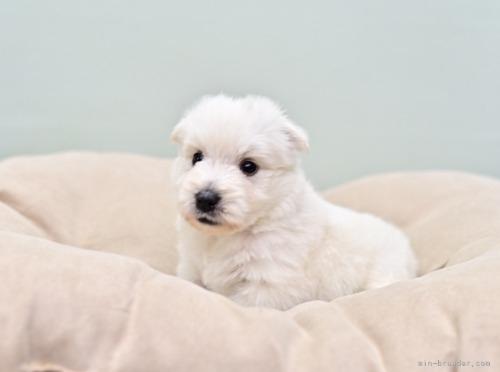 ウエストハイランドホワイトテリアの子犬(ID:1263011061)の4枚目の写真/更新日:2018-10-22