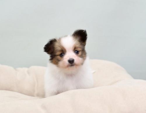 パピヨンの子犬(ID:1263011062)の1枚目の写真/更新日:2018-04-02