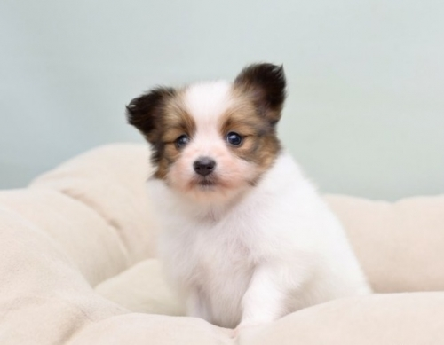 パピヨンの子犬(ID:1263011062)の2枚目の写真/更新日:2018-04-02