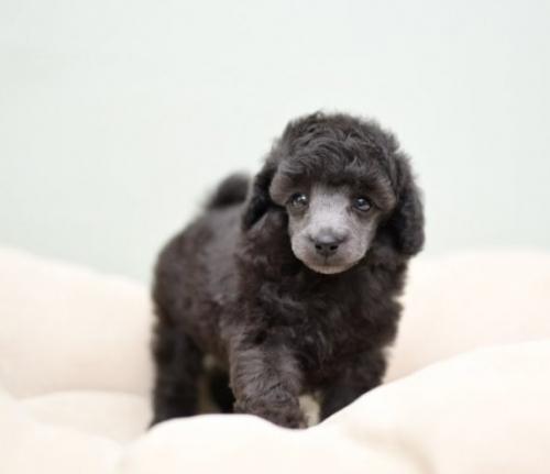 トイプードルの子犬(ID:1263011063)の1枚目の写真/更新日:2019-09-30