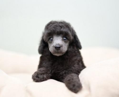 トイプードルの子犬(ID:1263011063)の2枚目の写真/更新日:2018-04-16