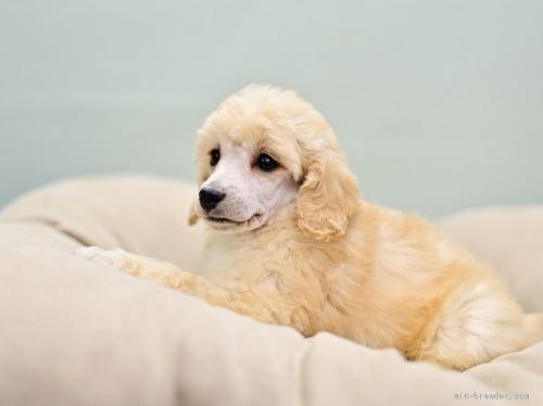 トイプードルの子犬(ID:1263011064)の2枚目の写真/更新日:2019-09-30