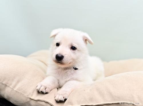 ホワイト・シェパードの子犬(ID:1263011065)の1枚目の写真/更新日:2018-04-18