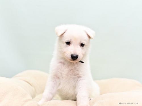 ホワイト・シェパードの子犬(ID:1263011065)の2枚目の写真/更新日:2018-04-18