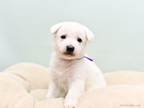 ホワイト・シェパードの子犬(ID:1263011066)の1枚目の写真/更新日:2018-04-18