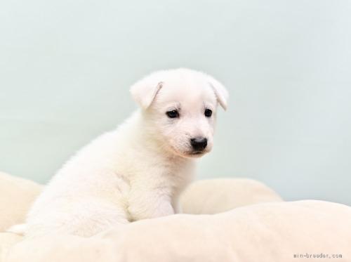 ホワイト・シェパードの子犬(ID:1263011066)の2枚目の写真/更新日:2018-04-18