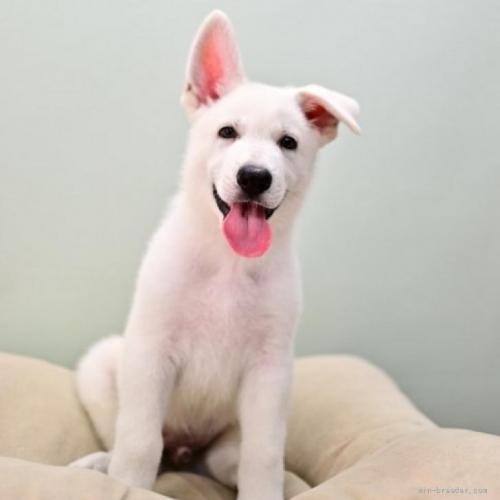 ホワイト・シェパードの子犬(ID:1263011067)の1枚目の写真/更新日:2018-04-18