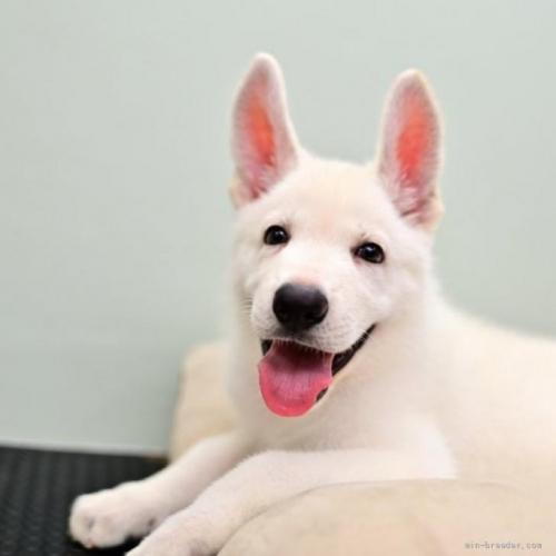 ホワイト・シェパードの子犬(ID:1263011068)の1枚目の写真/更新日:2018-04-18