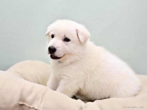 ホワイト・シェパードの子犬(ID:1263011069)の1枚目の写真/更新日:2018-04-18