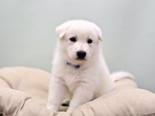 ホワイト・シェパードの子犬(ID:1263011069)の2枚目の写真/更新日:2018-04-18