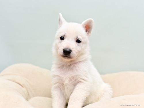 ホワイト・シェパードの子犬(ID:1263011070)の1枚目の写真/更新日:2018-04-18