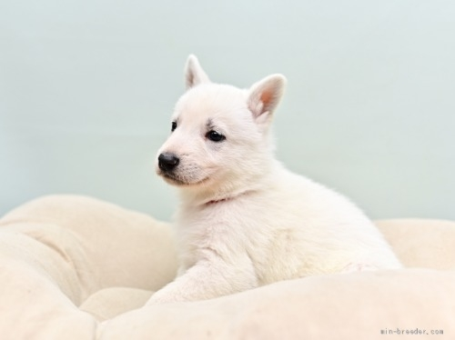 ホワイト・シェパードの子犬(ID:1263011070)の2枚目の写真/更新日:2018-04-18