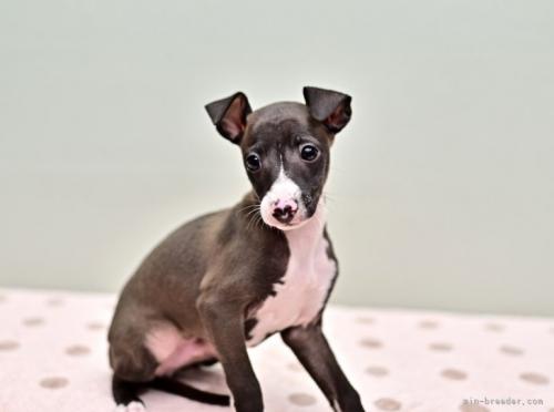 イタリアングレーハウンドの子犬(ID:1263011071)の2枚目の写真/更新日:2018-05-01