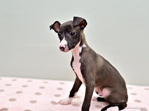 イタリアングレーハウンドの子犬(ID:1263011071)の3枚目の写真/更新日:2018-05-01