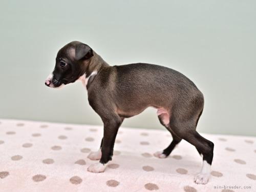 イタリアングレーハウンドの子犬(ID:1263011071)の4枚目の写真/更新日:2018-05-01