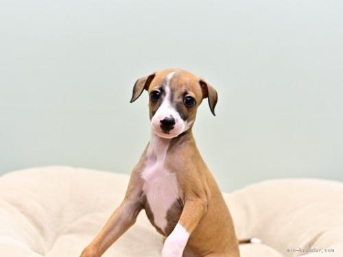 イタリアングレーハウンドの子犬(ID:1263011073)の1枚目の写真/更新日:2018-05-01