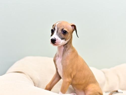 イタリアングレーハウンドの子犬(ID:1263011073)の2枚目の写真/更新日:2018-05-01