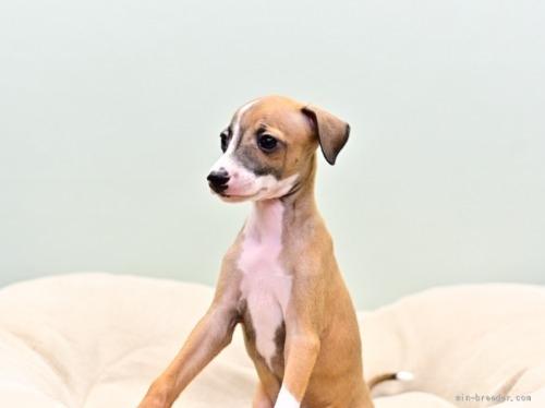 イタリアングレーハウンドの子犬(ID:1263011073)の3枚目の写真/更新日:2018-05-01