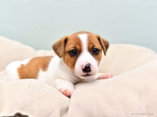 ジャックラッセルテリアの子犬(ID:1263011074)の1枚目の写真/更新日:2018-05-05