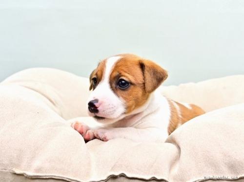 ジャックラッセルテリアの子犬(ID:1263011074)の3枚目の写真/更新日:2018-05-05