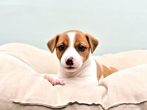 ジャックラッセルテリアの子犬(ID:1263011074)の4枚目の写真/更新日:2018-05-05