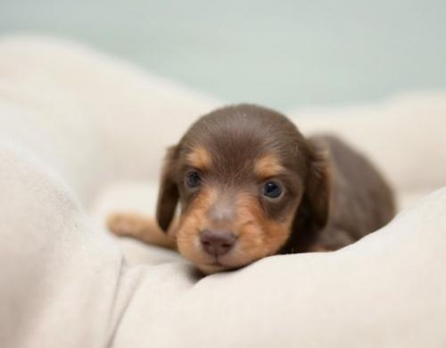 ミニチュアダックスフンド(ロング)の子犬(ID:1263011075)の1枚目の写真/更新日:2018-05-09