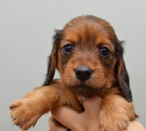 ミニチュアダックスフンド(ロング)の子犬(ID:1263011075)の2枚目の写真/更新日:2018-05-09