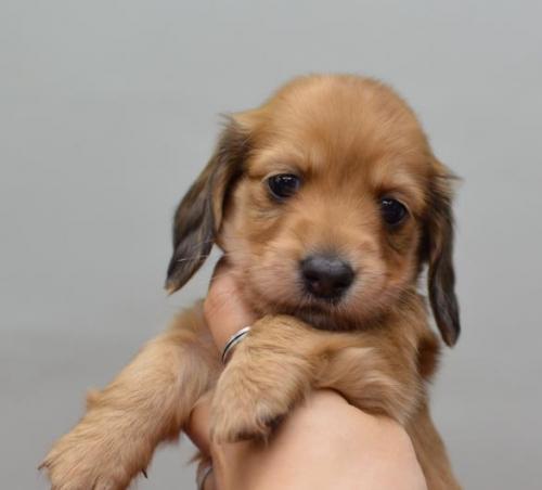 ミニチュアダックスフンド(ロング)の子犬(ID:1263011076)の1枚目の写真/更新日:2018-05-09
