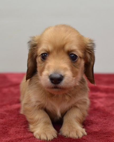 ミニチュアダックスフンド(ロング)の子犬(ID:1263011076)の2枚目の写真/更新日:2018-05-09
