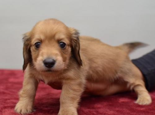 ミニチュアダックスフンド(ロング)の子犬(ID:1263011076)の3枚目の写真/更新日:2018-05-09