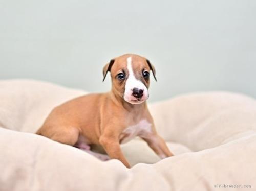 イタリアングレーハウンドの子犬(ID:1263011077)の2枚目の写真/更新日:2020-04-17
