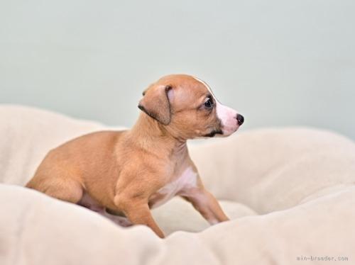 イタリアングレーハウンドの子犬(ID:1263011077)の3枚目の写真/更新日:2018-06-10