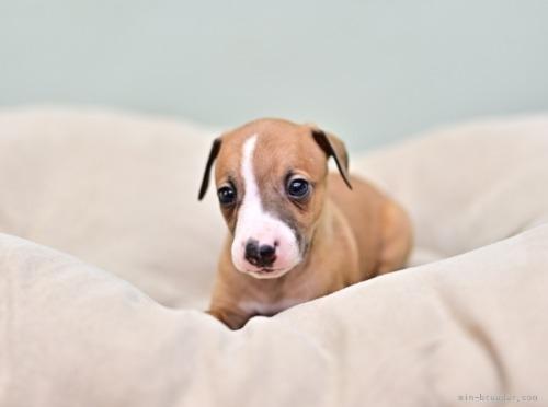 イタリアングレーハウンドの子犬(ID:1263011077)の4枚目の写真/更新日:2018-06-10