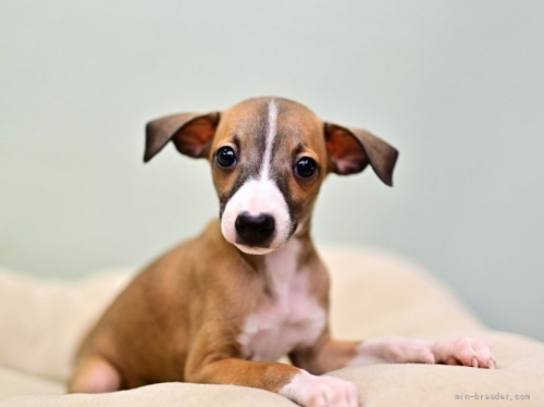 イタリアングレーハウンドの子犬(ID:1263011078)の1枚目の写真/更新日:2018-06-10