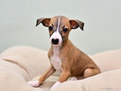 イタリアングレーハウンドの子犬(ID:1263011078)の3枚目の写真/更新日:2018-06-10