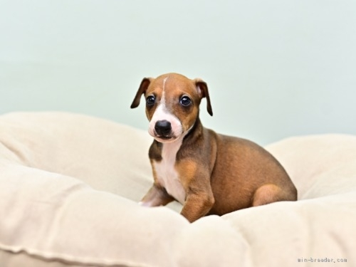 イタリアングレーハウンドの子犬(ID:1263011079)の1枚目の写真/更新日:2018-06-10