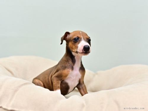 イタリアングレーハウンドの子犬(ID:1263011079)の2枚目の写真/更新日:2020-06-24