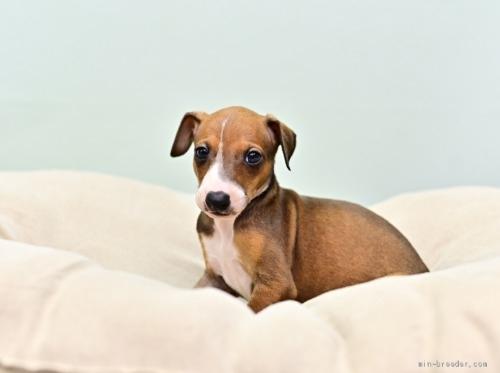 イタリアングレーハウンドの子犬(ID:1263011079)の3枚目の写真/更新日:2020-06-24
