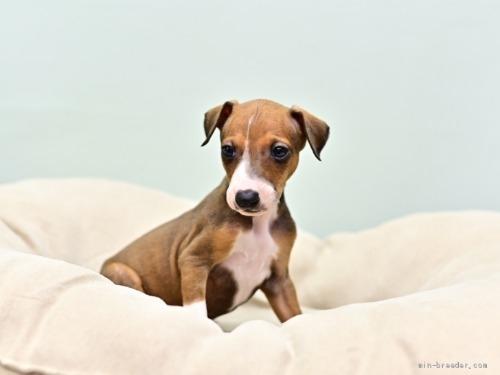 イタリアングレーハウンドの子犬(ID:1263011079)の4枚目の写真/更新日:2018-06-10