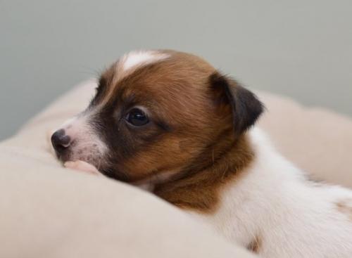 ジャックラッセルテリアの子犬(ID:1263011080)の2枚目の写真/更新日:2018-08-27