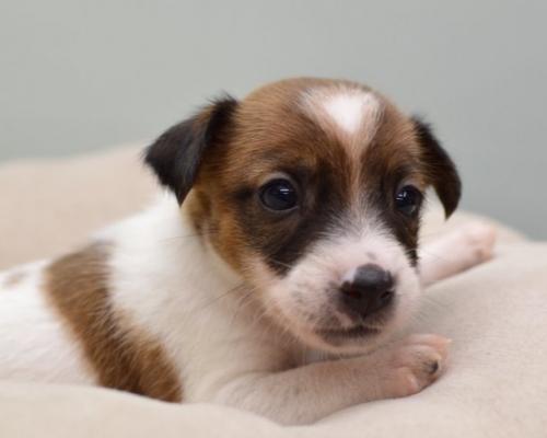 ジャックラッセルテリアの子犬(ID:1263011080)の3枚目の写真/更新日:2018-08-27
