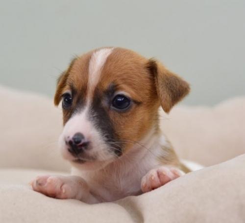 ジャックラッセルテリアの子犬(ID:1263011081)の2枚目の写真/更新日:2018-08-27