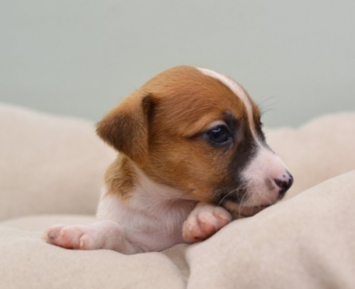 ジャックラッセルテリアの子犬(ID:1263011081)の3枚目の写真/更新日:2018-08-27