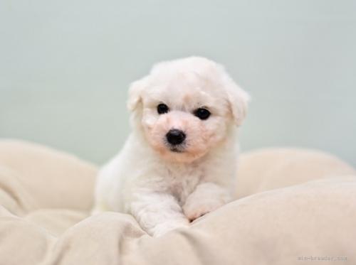 ビションフリーゼの子犬(ID:1263011082)の1枚目の写真/更新日:2019-07-15